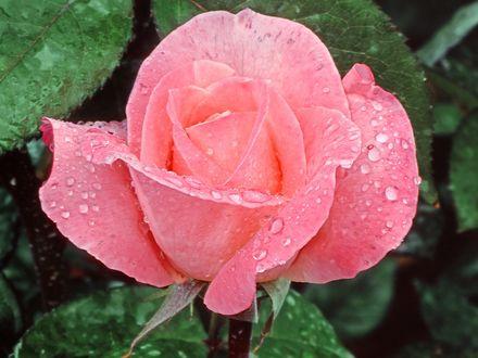 Обои Розовая роза в каплях росы