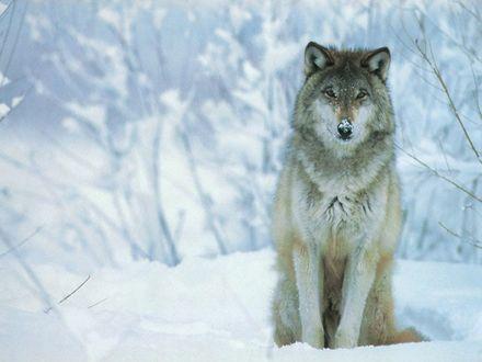 Обои Волк сидит в снегу