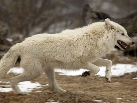 Обои Белый волк в беге