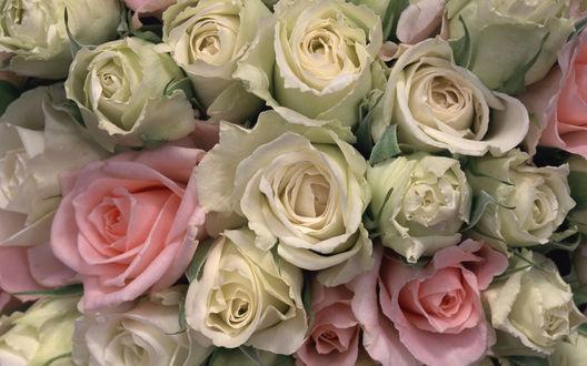 Обои Большая охапка роз