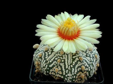 Обои Кактусы в цвету