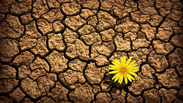 Обои Желтый цветок на растрескавшейся от жары земле