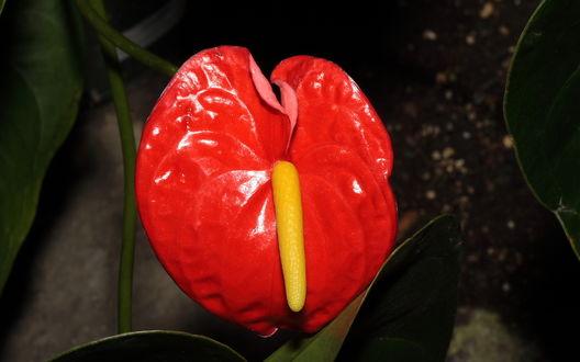 Обои Антуриум (Anthurium)
