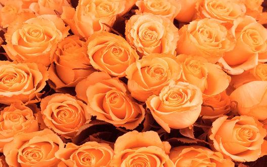 Обои Оранжевые розы