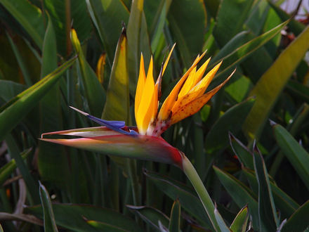 Обои Цветок носит название - «Райская птичка»