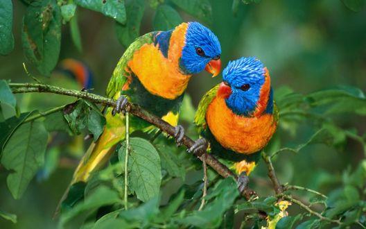 Обои Попугаи - радужные лорикеты