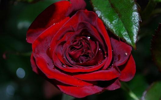 Обои Алая роза в росе