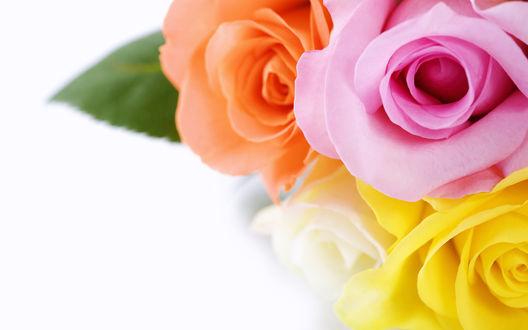 Обои Розочки четырех цветов