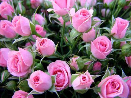 Обои Дикие розовые розы