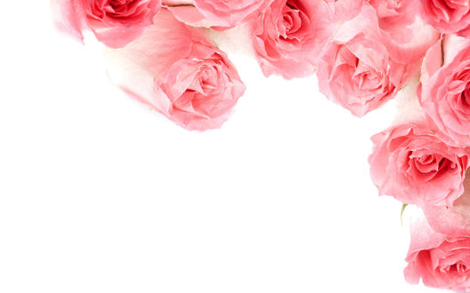Обои Белый фон и розы по краю