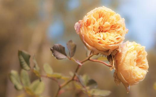 Обои Розы цвета персика
