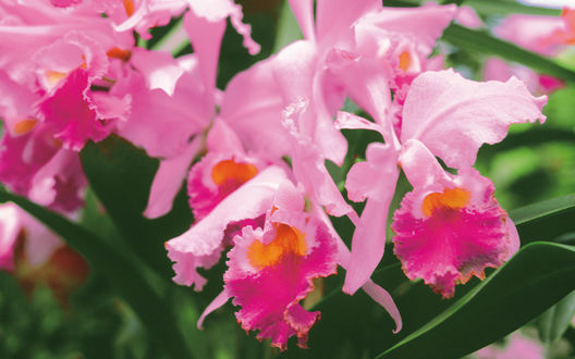 Обои Розовые орхидеи с красной серединкой