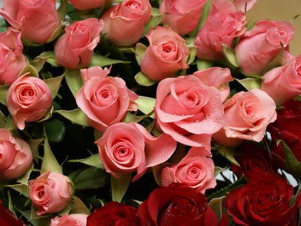Обои Красные и розовые розы
