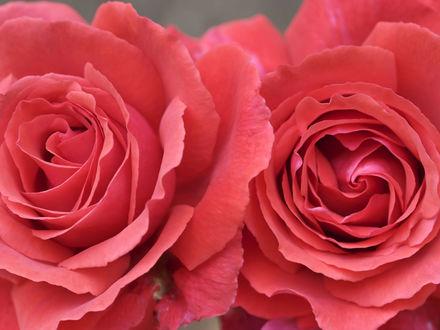 Обои Розы-близнецы