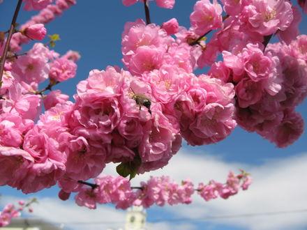 Обои Цветы Сакуры - японской  вишни