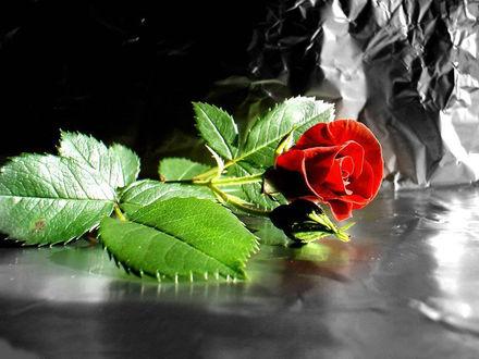 Обои Цветок красной розы