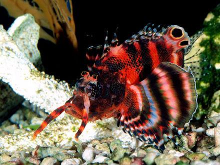 Обои Цветная красно-черная рыбка