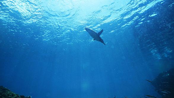 Обои В море плавает пингвин, в поисках добычи