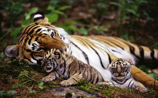 Обои Тигрица с двумя тигрятами