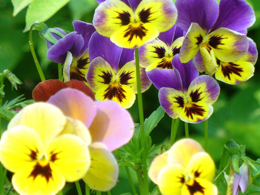 Открытки цветы анютина глазки, начало рабочей недели