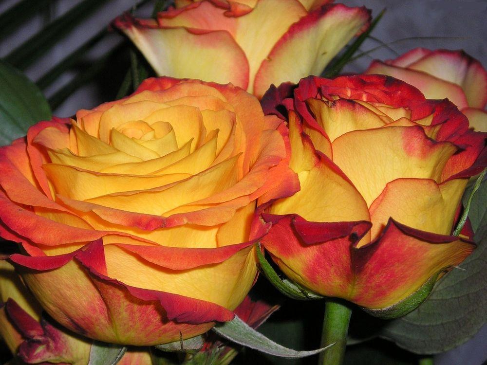 Желто-красные розы