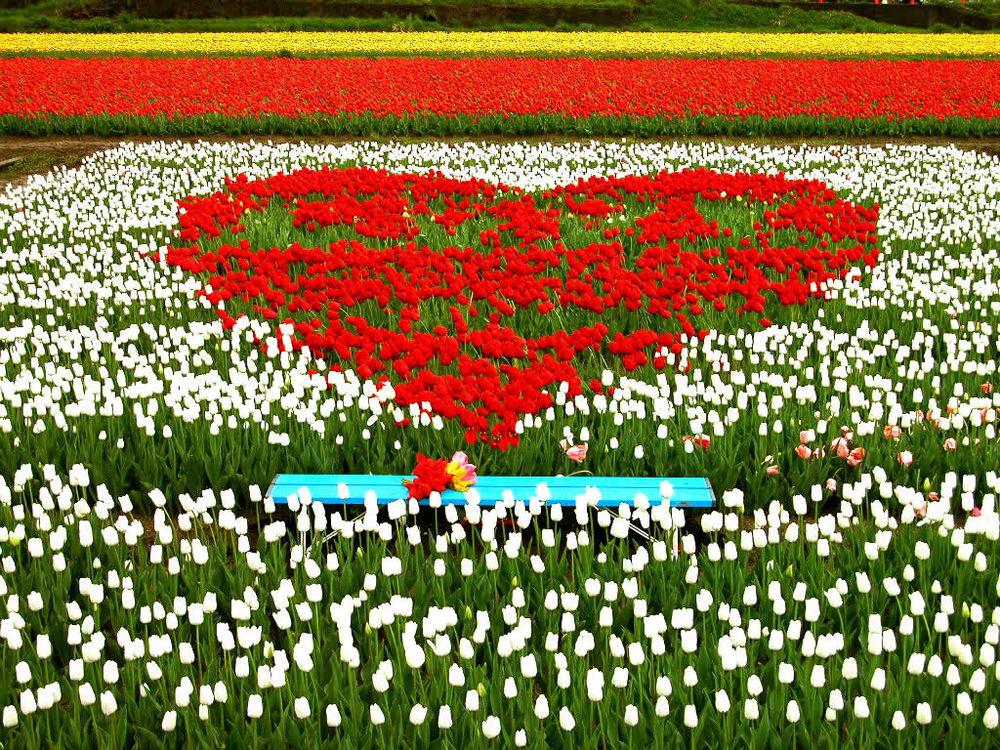 Обои для рабочего стола Море красно-бело-жёлтых тюльпанов, причём красные растут в виде сердечка