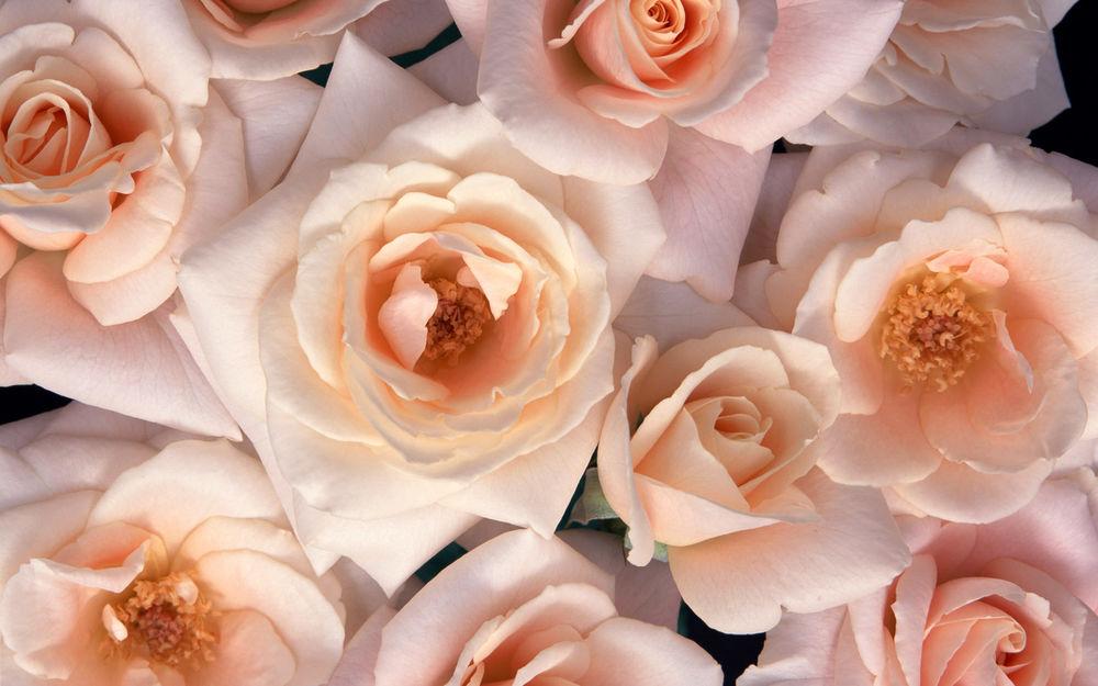 Обои на рабочий стол-белые розы