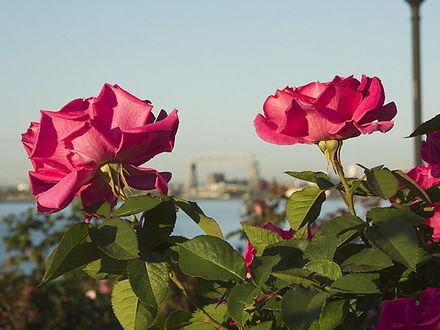 Обои Розы на фоне города