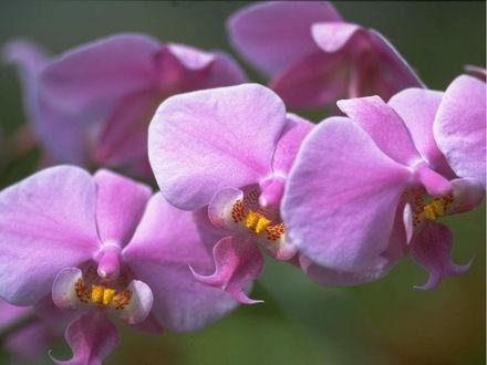 Обои Орхидея