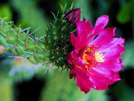 Обои Кактус цветёт
