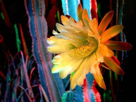 Обои Цветущий кактус