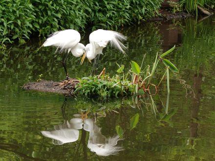 Обои Белые цапли на болоте