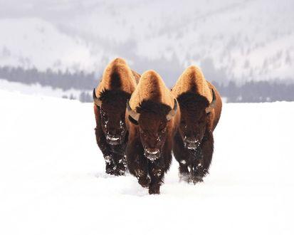 Обои Бизоны на снежных просторах
