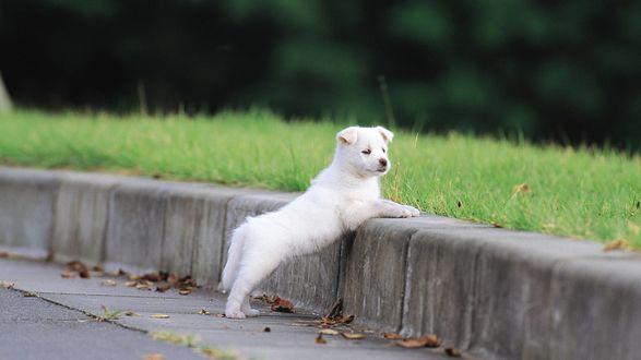 Обои Белый щенок стоит на бордюре