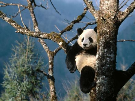 Обои Панда очень удобно устроился на дереве