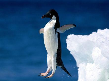 Обои Пингвин в прыжке в воду