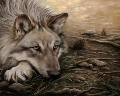 Обои Красивый волк лежит на земле среди травы и шишек