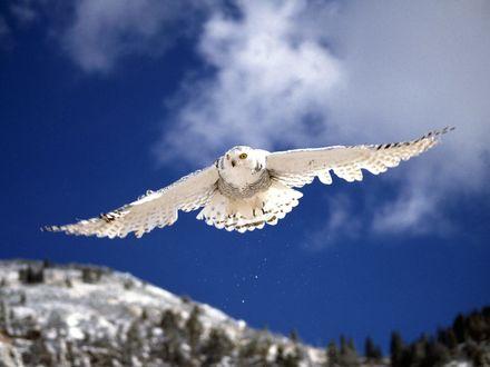 Обои белая сова в полёте над лесом