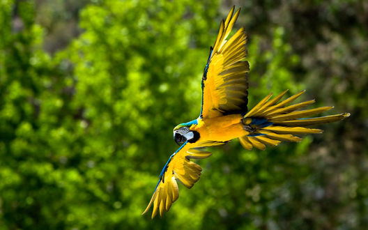 Обои Попугай Ара в полёте