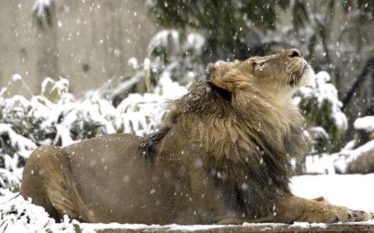 Обои Красивый лев лежит под снегом