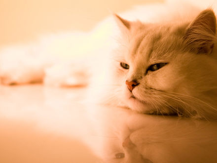Обои Белый кот лежит на полу