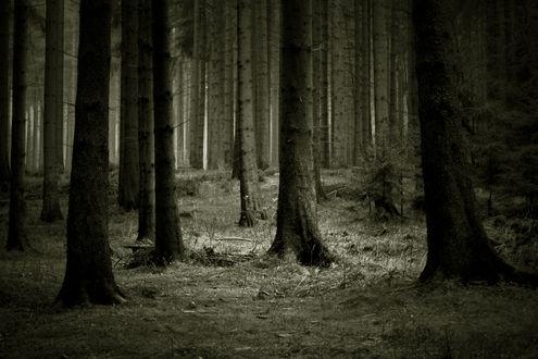 Обои Лес состоящий из сосен