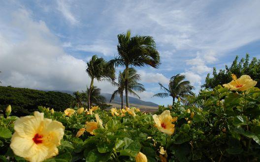 Обои Жёлтый портулак, растущий в тропиках среди пальм