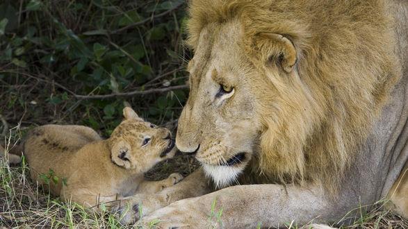 Обои Лев с маленьким львёнком