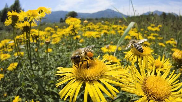 Обои Пчёлы собирают пыльцу с цветов на поле