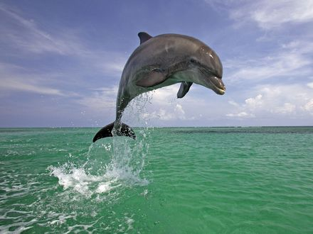 Обои Красивый прыжок дельфина над поверхностью моря