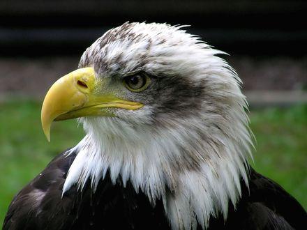 Обои Белоголовый орлан зорко следит за всем происходящим