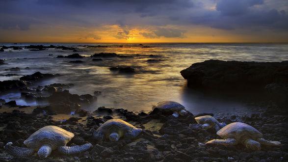 Обои Время захода солнца и морские черепахи выбираются на берег