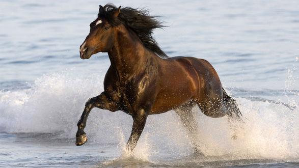 Обои Лошадь скачет по воде
