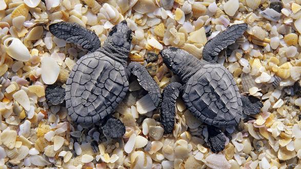 Обои У черепашек одна задача - доползти без происшествий до моря